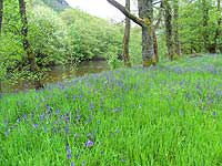 Bluebells by the river at Achintee